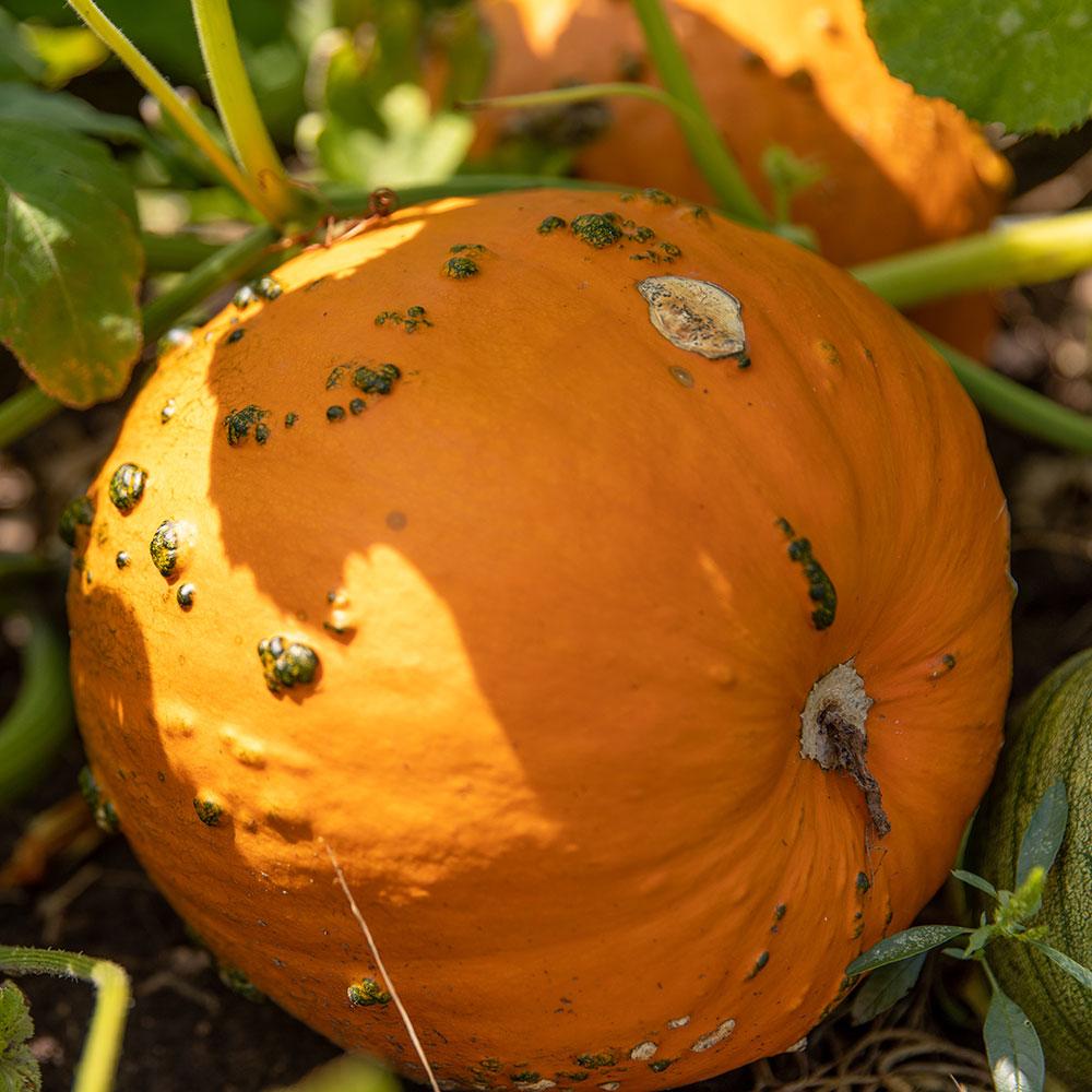 Slide Pumpkin